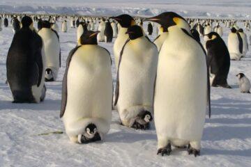 El pingüino emperador se podrá adaptar al calentamiento global